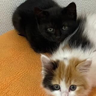 ミケ長毛、黒猫可愛い仔猫姉妹!