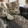 生後2ヶ月の子猫 サムネイル4