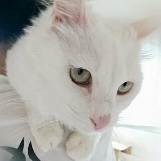【5/30芝浦】スリゴロ甘えん坊の長毛白猫女子