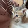 生後1ヶ月サビトラ男の子です