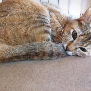 むぎちゃん(1~2歳の若い母猫)