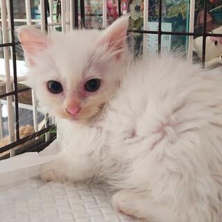 長毛白猫 マシュマロ♀