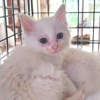 長毛白猫 わたあめ♀