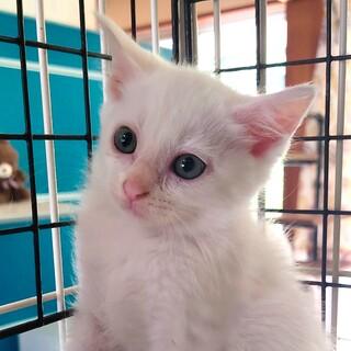 長毛白猫 メレンゲ♀