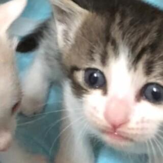 とっても可愛い赤ちゃん猫、キジ白のチビにゃん!