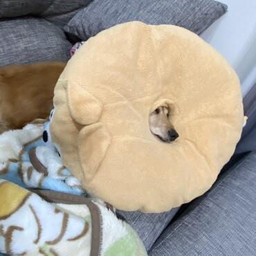 豆柴三兄弟の円座布団の穴から、顔出しして寝る小次郎さん