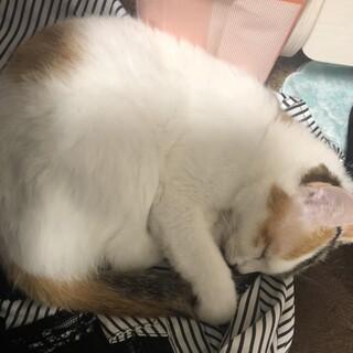 三毛猫-女の子-とても小柄!