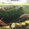シリケンイモリ孵化間近卵