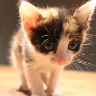 まるまる太った可愛らしい三毛猫ちゃんです