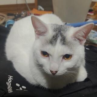 白猫の里親募集