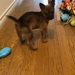 オス2カ月の子犬