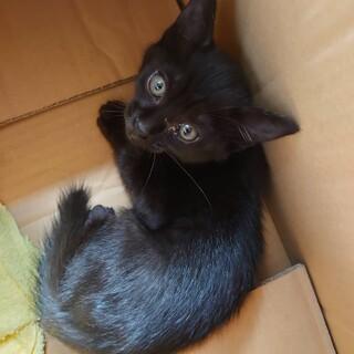 生後1ヶ月前後 黒猫里親募集中
