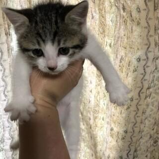 キジ白子猫里親募集