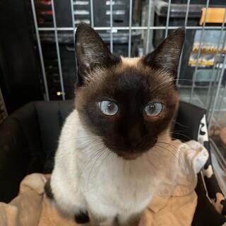 かわいいシャム猫
