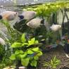 熱帯魚の里親募集