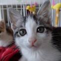 生後約2か月のサバ白の リムルちゃんです