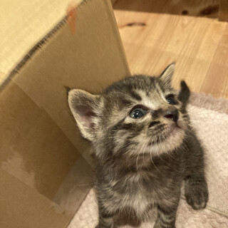 1ヶ月子猫