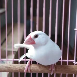 白文鳥の碧羽(みうちゃん)