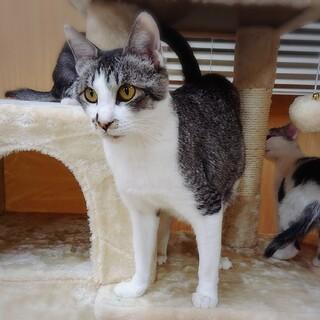 美人猫『くるみ』