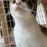 【マロブ】6/13(日)譲渡会に出場,猫エイズ陽性 サムネイル3