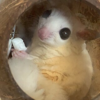 フクロモモンガ♀リューシ 1才4ヶ月 国内ブリード