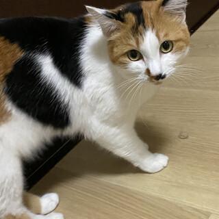 成猫ふうちゃんゴロゴロ甘えん坊