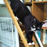 新しいにゃん生歩みたい白いソックス猫♡さつきさん サムネイル3
