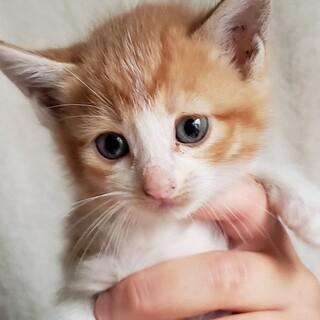 cat-M1022 可愛い茶白の兄妹♪