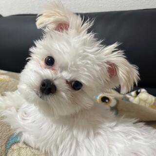 ミックス犬 チワマルちゃん5ヶ月