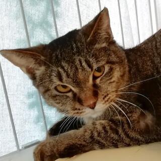 おしとやかなむぎわら猫「ブギー」