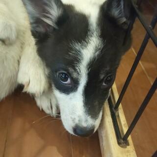 ヒアリング中の為、いったん募集停止 生後3か月仔犬