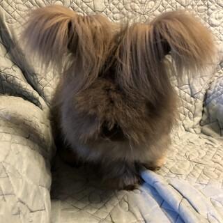 アンゴラウサギ   男の子 チンチラ