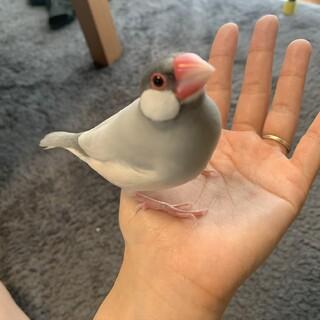 シルバー文鳥 1歳半