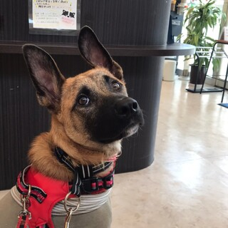 和犬MIX7ヶ月の可愛い男の子光虹(こうじ)くん
