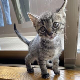 【空太】人馴れ抜群なキジトラ子猫