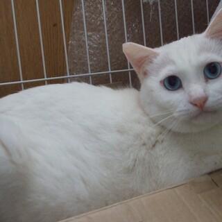 ブルーの瞳が綺麗なマシュマロ君