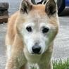 癒しのこころさん•柴犬MIX サムネイル2