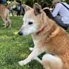 癒しのこころさん•柴犬MIX サムネイル3