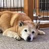 癒しのこころさん•柴犬MIX サムネイル5