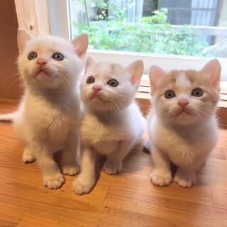 アイドルみたいな美猫3兄弟(2匹以上で)