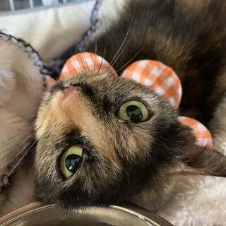 とっても甘えん坊で美しいサビ猫さん♡