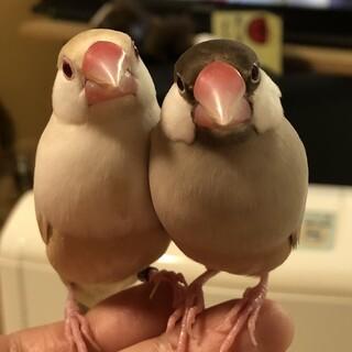 人懐こい男の子同士のラブラブ文鳥ペア達
