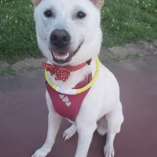 紀州犬風中型犬♀ベル  推定1〜2歳
