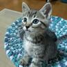 生後1ヵ月半、甘えん坊の可愛い子猫 お坊ちゃん