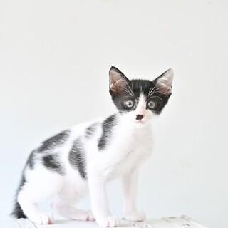 白黒子猫 ブルックリン君 里親様募集中♡