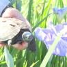 クサガメの青桜(あおくん) サムネイル5