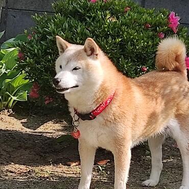 ザ日本犬❣ザ柴犬❣ の…凛とした姿勢ᕦ(ò_óˇ)ᕤ
