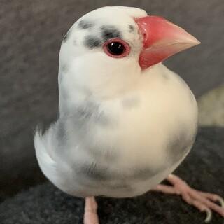 桜文鳥の里親になっていただける方を探してます。