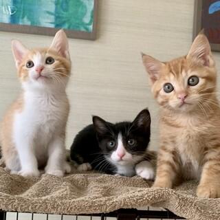 超甘えん坊むっちり仲良し美猫3兄妹