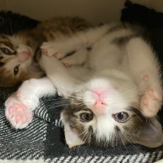 生後6週間甘えん坊ママの可愛い子猫たち(ペアで)